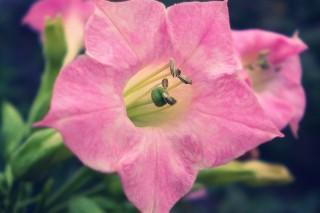 В цветках табака есть молекулы для борьбы с раковыми клетками