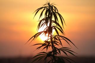 В США открылся институт марихуаны